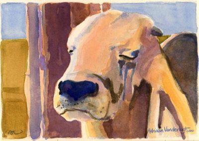 Proserpine Show Bull